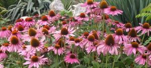 Echinacea purpurea - Herbacous in WG
