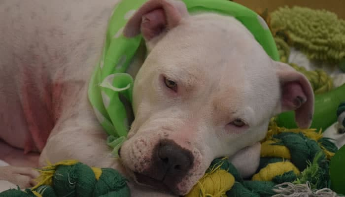 Meet Minnie, Kent's saddest looking senior staffie who needs  the luck of the Irish this St Patrick's Day