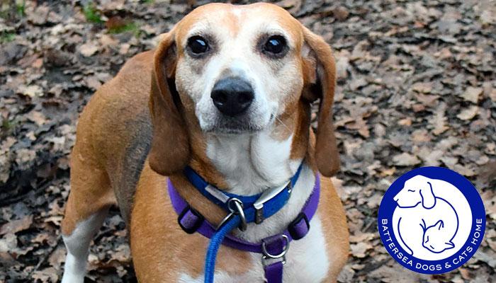 Holly the Beagle