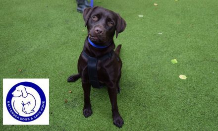 Cute-as-a-button Labrador is not so popular at Battersea Brands Hatch